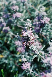 5/7/05 Purple Sage (Salvia leucophylla). Pentachaeta Trail, Triunfo Creek Park, Santa Monica Mountains Conservancy. Westlake Village, Los Angeles County, CA
