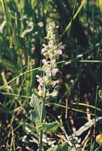7/4/05 Rigid Hedgenettle (Stachys rigida var. rigida). Roadside meadow @Mill Creek, approx 5 miles up County Rd 64 (Jess Valley Rd) from Likely. South Warner Wilderness, Modoc National Forest, Warner Mountain Ranger District, Modoc County, CA
