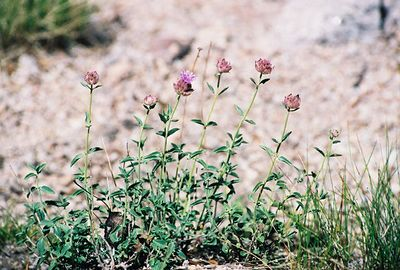 7/8/00 Mountain Pennyroyal (Monardella glauca). Onion Valley near campsite#18, Inyo National Forest, Independence Region, Eastern Sierras, Inyo County, CA
