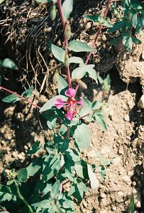 4/30/00 Elegant Clarkia (Clarkia unguiculata). Lower Arroyo Seco, Gabrielino Trail (JPL to Oakwilde), San Gabriel Mountains, Los Angeles County, CA