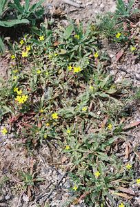 4/2/05 Small-Flowered Evening Primrose (Camissonia micrantha). Eaton Canyon Natural Area, San Gabriel Mountains, Los Angeles County, CA