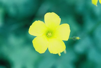 PLANTS: OXALIDACEAE (Wood Sorrel Family)