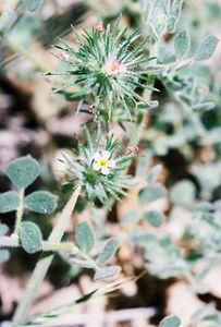 5/29/05 Whisker Bush (Linanthus ciliatus). Dark Canyon Rd, San Jacinto Mountains, San Bernardino National Forest, Riverside County, CA