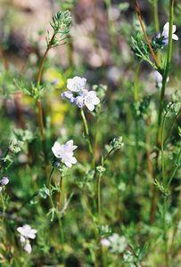 3/6/05 Gilia species. South side of Hwy 79, between callbox & Woodchuck Road. Between Temecula & Aguanga, Riverside County, CA