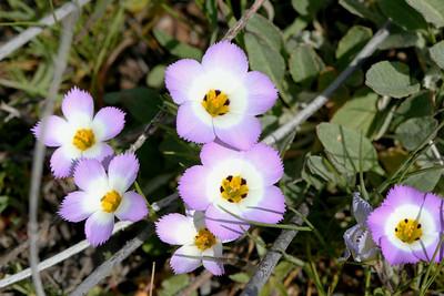 PLANTS: POLEMONIACEAE (Phlox Family)