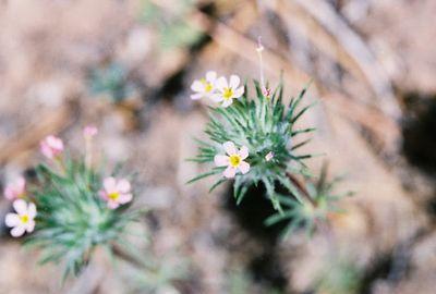 5/29/05 Whisker Bush (Linanthus ciliatus). Idyllwild County Park, San Jacinto Mountains, San Bernardino National Forest, Riverside County, CA