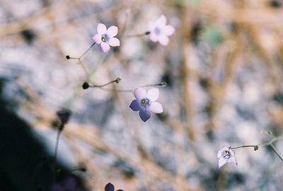 5/29/05 Gilia species. Idyllwild County Park (Nature Trail), San Jacinto Mountains, Riverside County, CA