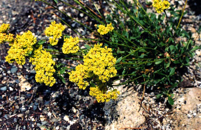 PLANTS: POLYGONACEAE (Buckwheat Family)
