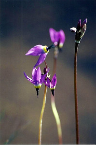 7/6/02 Jeffrey's Shooting Star (Dodecatheon jeffreyii). Horseshoe Meadow, Inyo National Forest, Lone Pine Region, Eastern Sierra, Inyo County, CA