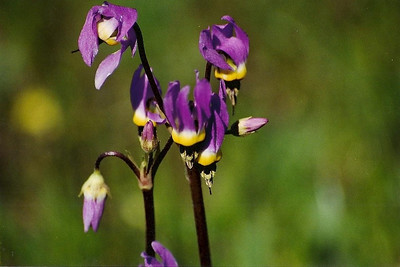 3/1/03 Cleveland's Shooting Star (Dodecatheon clevelandii). Vernal Pool Trail, Santa Rosa Plateau Ecological Reserve, Riverside County, CA