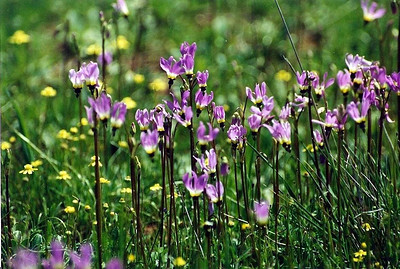 3/31/01 Cleveland's Shooting Star (Dodecatheon clevelandii). Vernal Pool Trail, Santa Rosa Plateau Ecological Reserve, Riverside County, CA