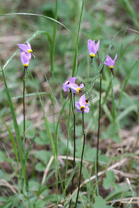 7/10/07 Jeffrey's Shooting Star (Dodecatheon jeffreyi). Rock Creek @Little Lakes/Mosquito Flat Trailhead.