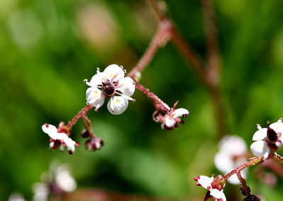 7/7/07 Brook Saxifrage (Saxifraga odontoloma). (Saxifragaceae - Saxifrage Family). Soda Creek, Hwy 108 (Sonora Pass). Mono County, Toiyabe National Forest, CA