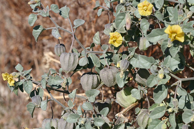 12/10/05 Thick-leaved Ground Cherry (Physalis crassifolia). Frontage Rd exit off I-10, Shaver's Valley, Eastern Riverside County, CA