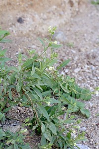 2/6/05 Desert Tobacco (Nicotiana obtusifolia). Meccacopia Jeep Trailhead/wash (bisecting Orocopia Mtns & Mecca Hills Wilderness areas) on south (left) side of Box Canyon Rd., west of Sheep Hole Oasis Campground. Riverside County, CA