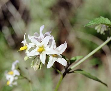 1/23/05 White Nightshade (Solanum douglasii). Lower Arroyo Seco, Gabrielino Trail (JPL to Oakwilde), San Gabriel Mountains, Los Angeles County, CA
