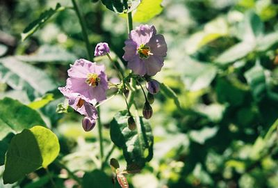 4/30/00 Purple Nightshade (Solanum Xantii). Lower Arroyo Seco, Gabrielino Trail (JPL to Oakwilde), San Gabriel Mountains, Los Angeles County, CA