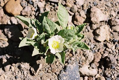 7/6/05 Dwarf Chamaesaracha (Chamaesaracha nama). Inyo Craters Turnoff, Mammoth Lakes Scenic Loop (Hwy 203). Eastern Sierras, Mono County, CA