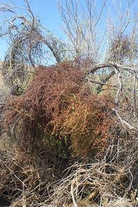 4/3/11 Desert Mistletoe (Phoradendron californicum). Meccacopia Trail, Box Canyon Rd., Mecca Hills, Riverside County, CA