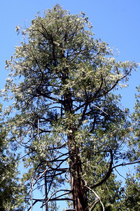 7/12/09 Incense Cedar (Calocedrus decurrens). Yellow Pine Nature Trail, Idyllwild County Park, San Jacinto Mountains, Riverside County, CA