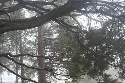 4/8/07 Incense Cedar (Calocedrus decurrens). Silvercrest Picnic Area, Palomar Mountain State Park, N. San Diego County, CA