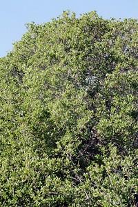 1/16/05 Pygmy Oak (Quercus agrifolia?). Elfin Forest, Baywood Park, San Luis Obispo County, CA