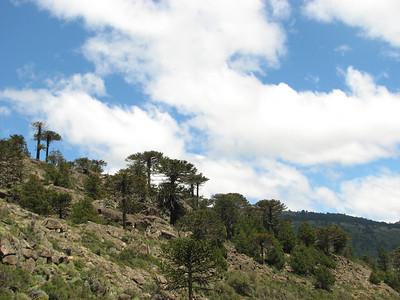Araucaria araucana, between Alumine and Moquehue