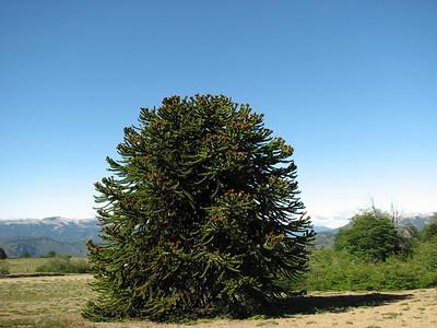 Araucaria araucana, Volcan Batea Mahuida