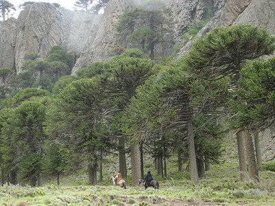 Araucaria araucana, Pin Hachado