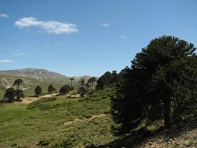 Araucaria araucana, between Moquehue and Lago Caviahue