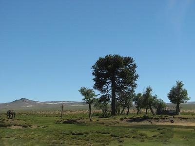 Araucaria araucana, between Moquehue and Primeros Pinos