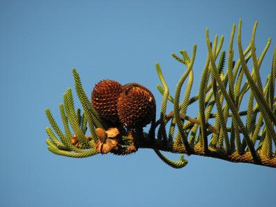 Araucaria heterophylla (Puerto de la Cruz)