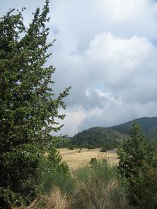 Juniperus drupacea (Mt. Parnonas, near Aghios Vasilios)