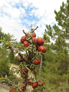 Close up of fruit of Juniperus phoenicea (near Gölhisar, SW Turkey)