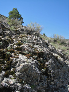 Habitat of Saxifraga paniculata ssp. cartilaginea and Juniperus excelsa (west of Bayburt along the road to Gümüşhane)