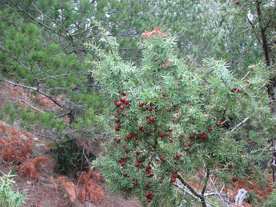 Juniperus oxycedrus (west of Paleopanaghia, Taygetos Mountains)
