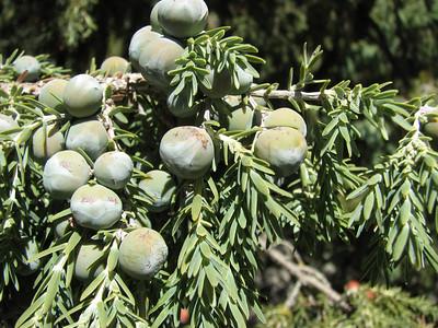 Juniperus cedrus (near El Portillo, Las Cañadas del Teíde)