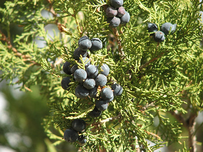 Juniperus excelsa (N of Kozan, near Gezbeli Geçidi, S Turkey)
