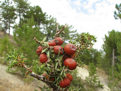 Close up of fruit of Juniperus phoenicea (near Gölhisar, SW Turkey)