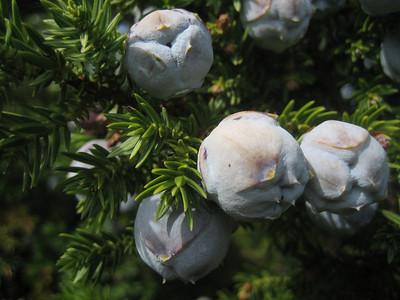 Juniperus drupacea (Mt. Parnonas)