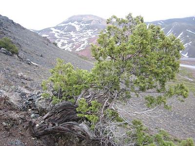 Juniperus sabina, on serpentine rocks, photograph by Marijn van den Brink (Cirisli Geçidi, Karagöl Dağları, south of Çat)
