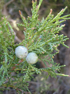 Juniperus excelsa? (west of Bayburt along the road to Gümüşhane)