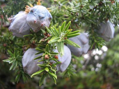 Juniperus drupacea, photograph by Marijn van den Brink (SW Turkey)