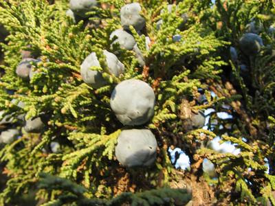 Juniperus excelsa (near Sinekci Beli, 1380m., Southwestern Turkey)