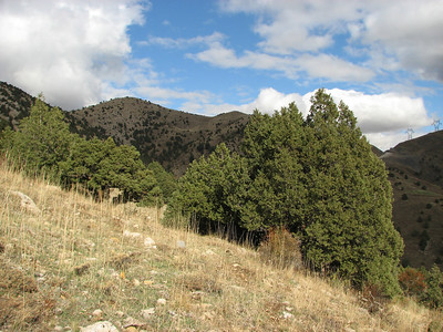 Juniperus excelsa (N of Kozan, near Gezbeli Geçidi, S Turkey)