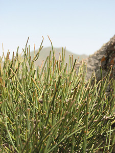 Ephedra spec. (Sendan mountains, 15km NE of Bonab 2110m, Zanjan Province)