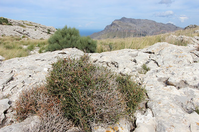 Smilax aspera var. balearica and Ephedra fragilis in the background (Coll dels Reis, 682m)