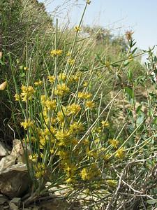 Ephedra spec. (near Karlaten shur, 10 km NE of Sankhast, Kuh e Aladag)