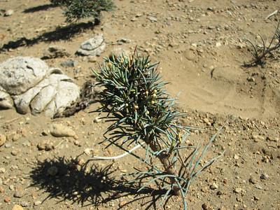 Ephedra chilense, between Chosmalal and area Natural Protegida Epu Lauquen