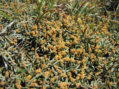 Ephedra frustillata, Cerro Colo-huincul
